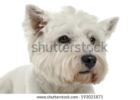West Highland White Terrier studio portrait with white background