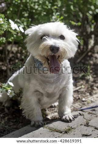 West Highland white terrier walking - stock photo