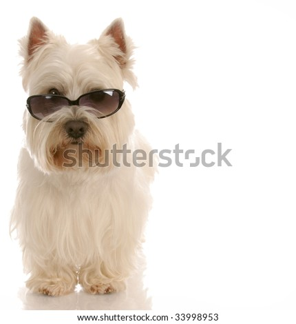 west highland white terrier wearing cool sunglasses on white background - stock photo