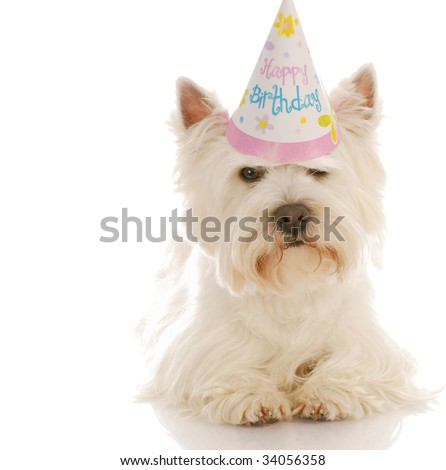 west highland white terrier wearing cute birthday hat - stock photo