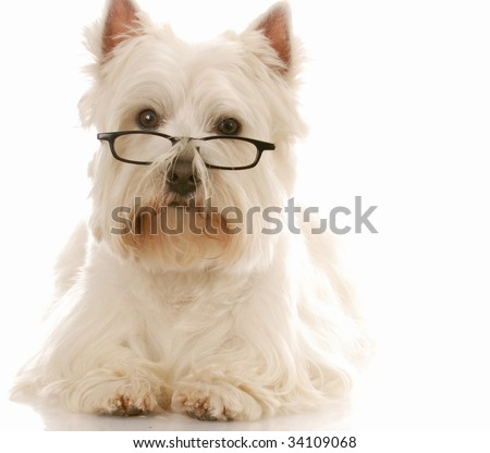 west highland white terrier wearing dark framed reading glassed - stock photo