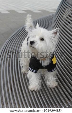 West Highland White Terrier Westie Dog Stock Photo (Safe to Use ...