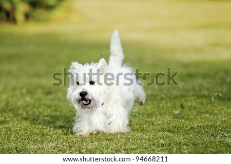 West Highland White Terrier, Westie dog running on the green grass - stock photo