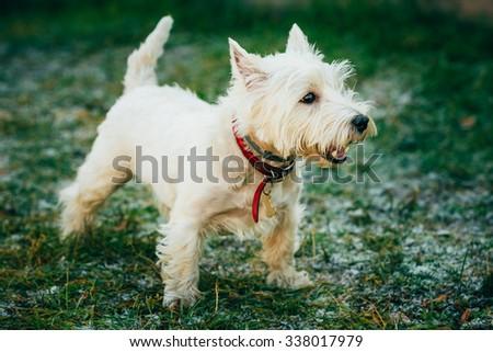 West Highland White Terrier - Westie, Westy Dog Outdoor - stock photo