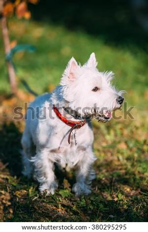 West Highland White Terrier - Westie, Westy Dog Outdoors. Popular breeds - stock photo