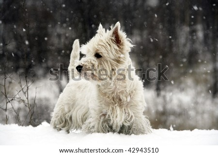 West Highland White Terrier - winter scene - stock photo
