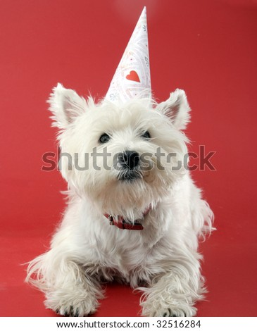 West highland white terrier with birthday party hat . - stock photo