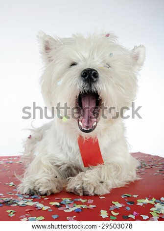 West highland white terrier with copy-space note.
