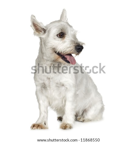 West Highland White Terrier (4 years) in front of a white background