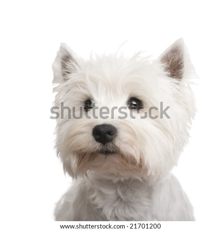 West Highland White Terrier (3 years) in front of a white background