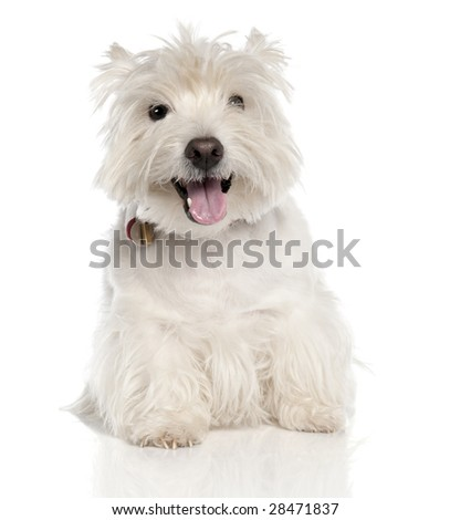 West Highland White Terrier (6 years old) in front of a white background - stock photo