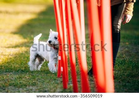 West highland white terrierdog doing agility - running slalom. Agility slalom - stock photo