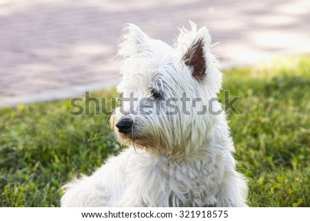 West Highlands Terrier, looking right, horizontal image - stock photo