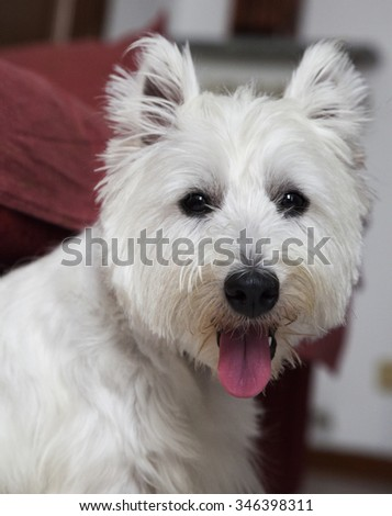 West Highlands Terrier sitting with open mouth ,vertical image - stock photo