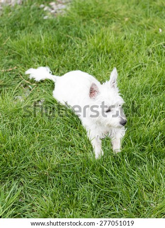 West Highlind Terrier Puppy Resting on Green Grass in Backyard - stock photo