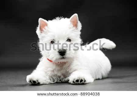 West HighlWest Highland White Terrier on black background - stock photo