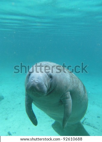 West Indian Manatee Swimming