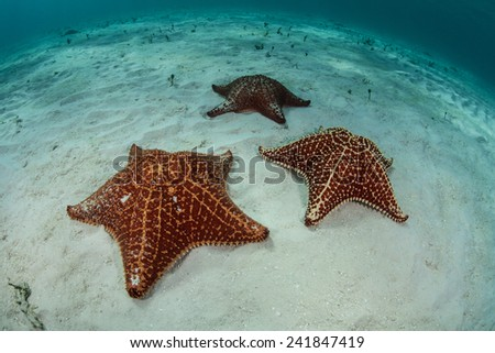 West Indian starfish (Oreaster reticulates) are found on a shallow sand seafloor on the edge of Turneffe Atoll, Belize, in the Caribbean Sea. This is the largest starfish in the region. - stock photo