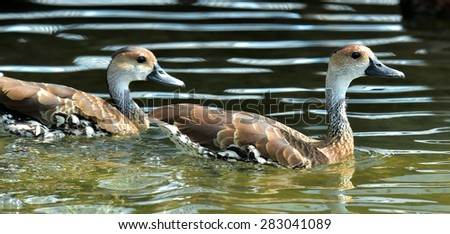 West Indian Whistling-duck Dendrocygna arborea swimming in the watter - stock photo