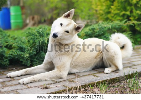West Siberian Laika dog lying outdoors in the garden and looking at the camera with an interest