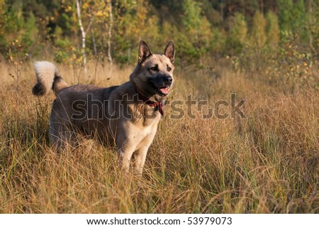 West Siberian laika (husky) - stock photo