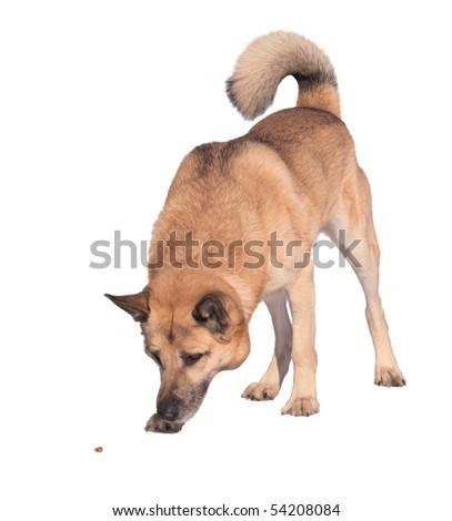 West Siberian Laika (Husky), isolated on white - stock photo