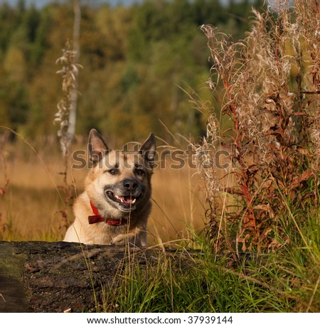 West Siberian laika (husky) prepare for jump - stock photo