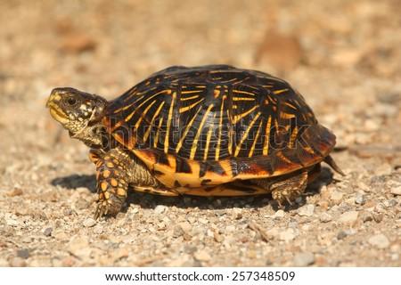 Western Box Turtle (Terrapene ornata) in the flint hills of Kansas - stock photo