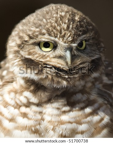 western burrowing owl close up, california