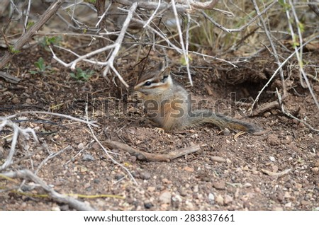 Western chipmunk enjoying a bite to eat while hiking the Grand Canyon trail in Arizona, USA