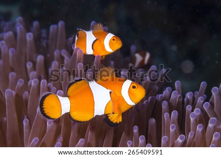 Western Clown Anemonefish hiding in an Anemone on tropical coral reef - stock photo