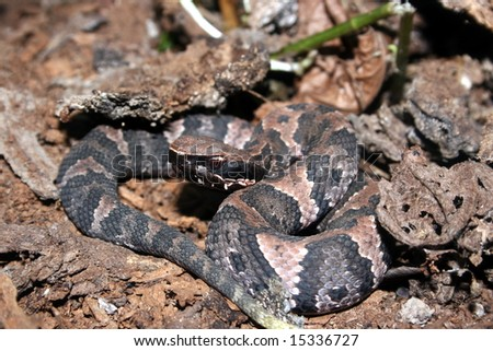 Western Cottonmouth (Agkistrodon piscivorus leucostoma) - stock photo