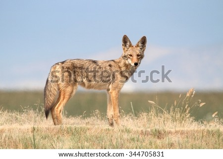 Western Coyote (Canis latrans) in northern California - stock photo