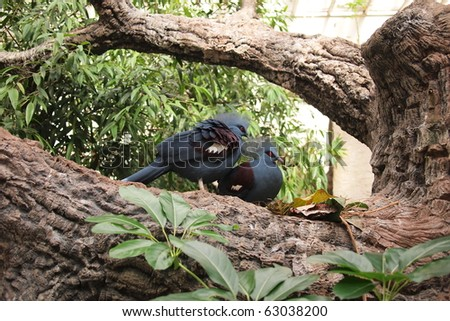 Western Crowned Pigeon - stock photo