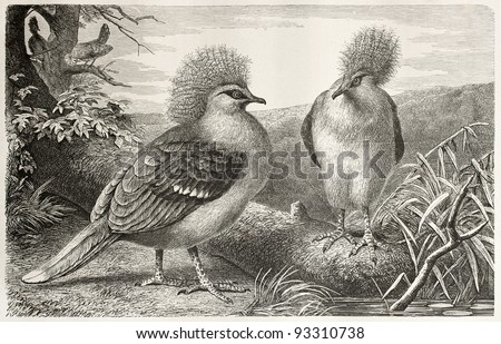 Western Crowned Pigeon old illustration (Goura cristata). By unidentified, published on Merveilles de la Nature, Bailliere et fils, Paris, ca. 1878 - stock photo
