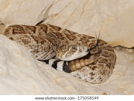 Western Diamondback Rattlesnake, Crotalus atrox, hiding coiled in the rocks at night, flicking its tongue and ready to strike  - stock photo