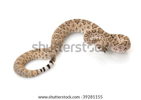 western diamondback rattlesnake (Crotalus atrox) isolated on white background - stock photo