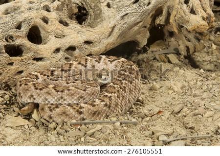 Western Diamondback Rattlesnake Light phase - stock photo