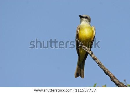 western flycatcher - stock photo