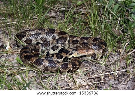 Western Fox Snake (Pantherophis vulpinus) - stock photo