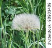 Western Goat's-Beard (Tragopogon dubius) Similar to a dandelion, but huge in comparision. - stock photo