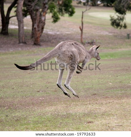 Western Grey Kangaroo Hopping - stock photo