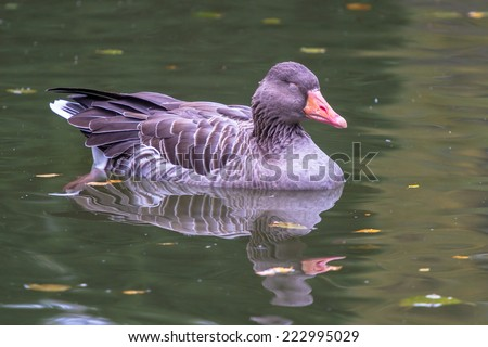 Western greylag goose swimming with closed eyes closeup - stock photo