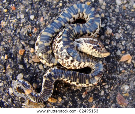 Western Hognose Snake, Heterodon nasicus - stock photo