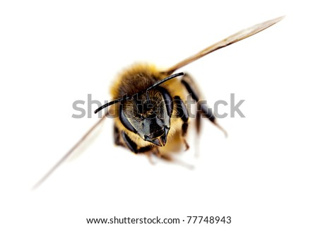 Western honey bee in flight, with sharp focus on its head, isolated on white - stock photo