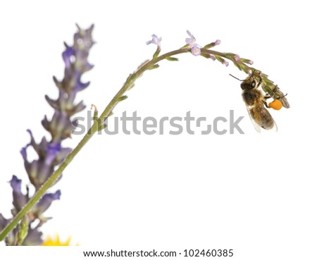 Western honey bee or European honey bee, Apis mellifera, carrying pollen in front of white background - stock photo