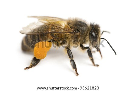 Western honey bee or European honey bee, Apis mellifera, carrying pollen, in front of white background - stock photo