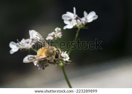 Western honey bee or European honey bee (Apis mellifera) on garden flower - stock photo