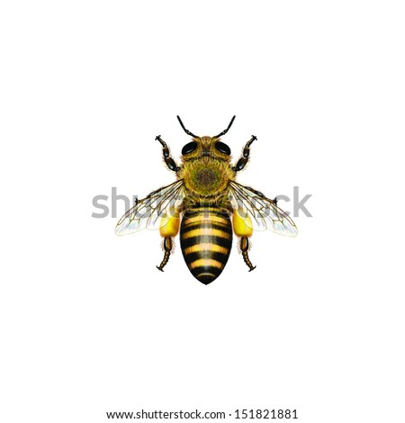 Western Honey Bee or European Honey Bee worker (Apis mellifera) belongs to the Apidae family. - stock photo
