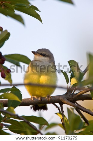 Western Kingbird perched in tree - stock photo
